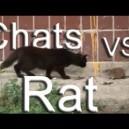 Rat contre chats